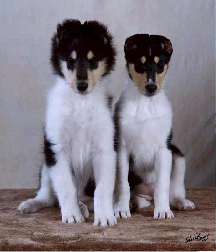"Snovali Double O Seven, ""James"" & Snovali Desire, ""Dee"" collie pups at 8 weeks old"
