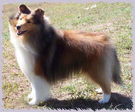 "TouchTone B'Yond The Ordinary, ""Derek"" photo courtesy TouchTone Shelties"