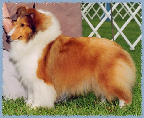 CH Woodhue Comely Kelly, photo courtesy Woodhue Shelties