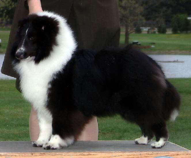 "Woodhue Country Gentleman, ""Kix""  courtesy Woodhue Shelties"